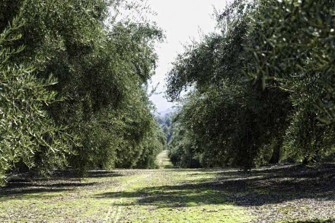 Barrenillo del olivo: Qué es y consejos para prevenirlo
