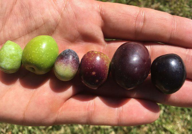 Las variedades de aceituna que componen nuestro mejor aceite de oliva