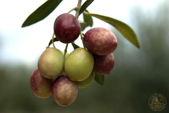 ¿Cómo se obtiene el mejor aceite de oliva? Las claves para elegirlo