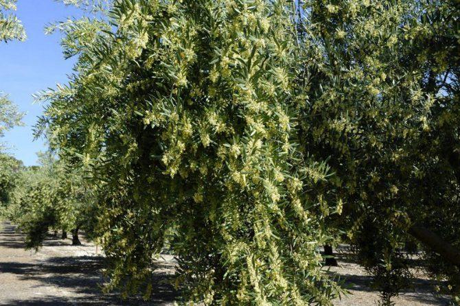¿Conoces todas las enfermedades del olivo y su tratamiento?