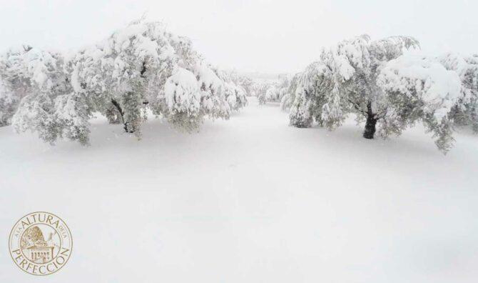 Los efectos de las heladas en los olivos y cómo combatirlas