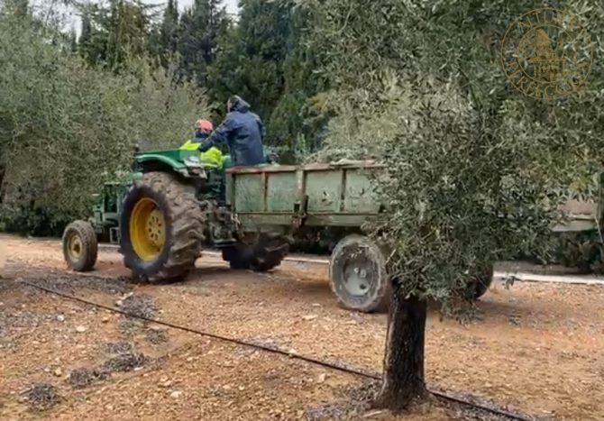 Mantenimiento del olivo después de la campaña en Masía el Altet