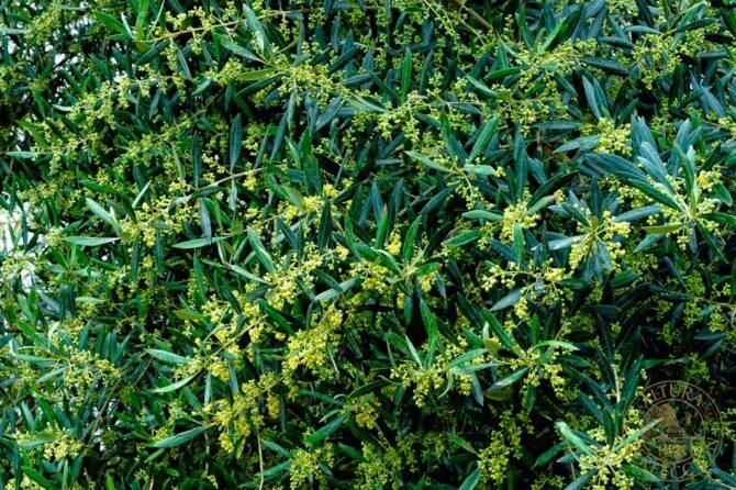 La importancia del marco de plantación en el olivar