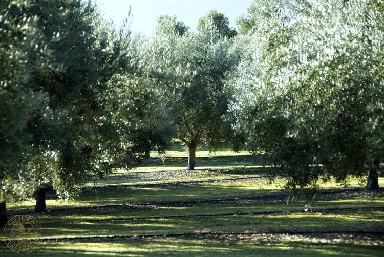 la olivicultura