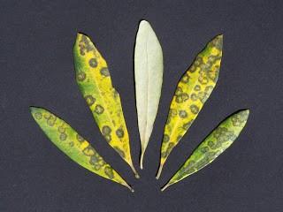 olive-leaf-spot