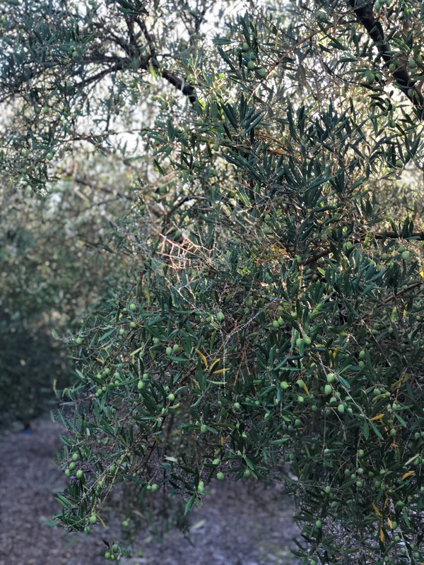 olive leaf spot masia el altet