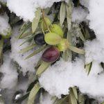 olivicultura