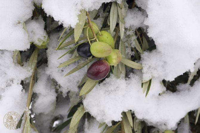 La olivicultura en Masía El Altet para obtener el mejor aceite de oliva del mundo