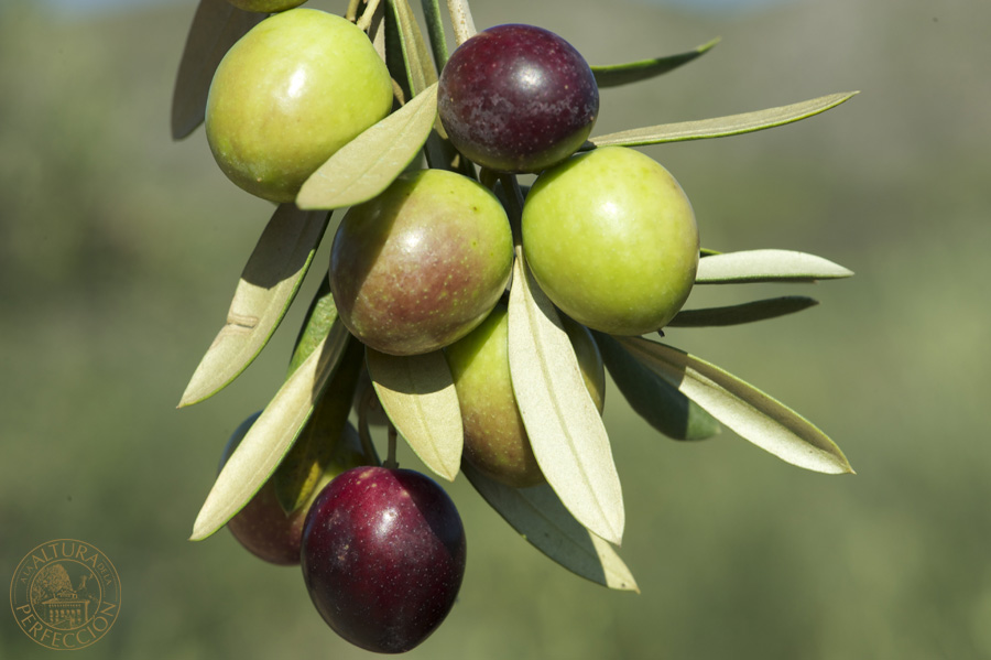 picual olive
