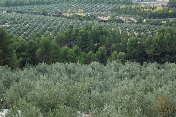 Todos los secretos que querías saber sobre la poda del olivo