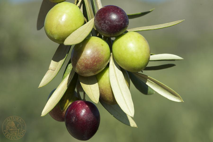 variedad de aceituna picual